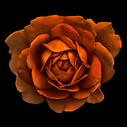 Orange Florals Posters - Dramatic Rusty Orange Rose Portrait Poster by Jennie Marie Schell