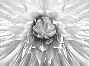 Flower Gardens Framed Prints - Dramatic White Dahlia Flower Monochrome Framed Print by Jennie Marie Schell