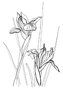 Yana Vergasova - Drawing Irises