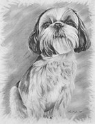 Pooch Drawings Posters - Drawing of a Shih Tzu Poster by Lena Auxier
