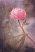 Pink Rose Framed Prints - Dream-struck Framed Print by Priska Wettstein