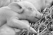 Pig Framed Prints - Dreaming Framed Print by Karl Wilson