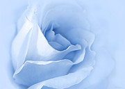 Blue Flowers Photos - Dreaming of Blue Roses by Jennie Marie Schell