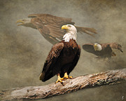 Bald Eagle Framed Prints - Dreaming of Freedom Framed Print by Jai Johnson