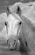 Gray Horse Prints - Dreaming of Freedom Print by Renee Forth Fukumoto