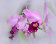 Macro Art Prints - Dreaming of Orchids Print by Sabrina L Ryan