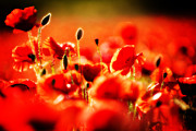 Red Petals Prints - Dreaming Of Poppies Print by Meirion Matthias