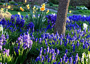 Grape Hyacinths Posters - Dreaming of Spring Poster by Carol Groenen