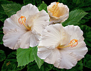 Green - Dreamy Blooms - White Hibiscus by Ben and Raisa Gertsberg