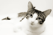 Short Hair Prints - Dreamy Cat 2 Print by Andee Photography