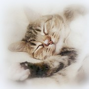 Cat Paw Posters - Dreamy Cat Sleeps Poster by Diana Besser