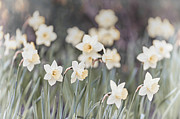 March Framed Prints - Dreamy daffodils Framed Print by Elena Elisseeva
