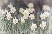 Dreamy Daffodils Print by Elena Elisseeva