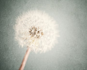 Soft Pastel Posters - Dreamy Dandelion in Pastel Blue and Cream  Poster by Lisa Russo