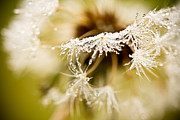 Dew Prints - Dreamy Dandelion Print by Shane Holsclaw