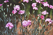 All Framed Prints - Dreamy Dianthus Framed Print by Lynn-Marie Gildersleeve