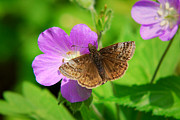 Rollosphotos Digital Art - Dreamy Duskywing Skipper by Christina Rollo