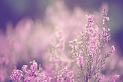 Pink Flower Prints Prints - Dreamy Pink Heather Print by Natalie Kinnear
