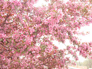 Surreal Nature And Trees Prints - Dreamy Pink South Carolina Spring Apple Blossom Trees Print by Kathy Fornal
