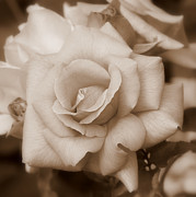 Tans Prints - Dreamy Sepia Rose - Square Print by Carol Groenen