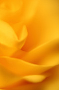 Matt Matthews - Dreamy Yellow Rose Macro...