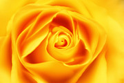 Matt Matthews - Dreamy Yellow Rose