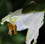 Flower Works Posters - Drenched In White II Hosta Flower Macro Poster by Rosemarie E Seppala