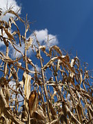 Berks County Prints - Dried Field Corn in Kutztown PA Print by Anna Lisa Yoder