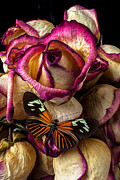 Pinks Posters - Dried rose and butterfly Poster by Garry Gay