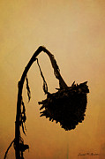 Drooping Art - Dried Sunflower by Dave Gordon