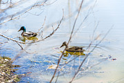 Mallards Photos - Drifters by Paul St George