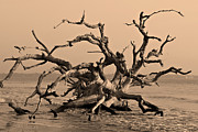 Driftwood Beach Jekyll Island Print by Leslie Kirk