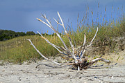 Oats Prints - Driftwood Print by Betsy A Cutler East Coast Barrier Islands