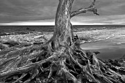 Tree Roots Photo Prints - Driftwood on Jekyll Island Black and White Print by Debra and Dave Vanderlaan