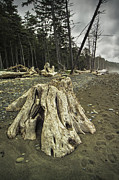 Randall Nyhof - Driftwood Tree Stump on Rialto Beach in Olympic National Park No. 223