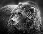 Kodiak Prints - Drinking Grizzly Bear Black and White Print by Steve McKinzie