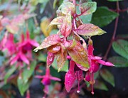 Fushia Photos - Dripping Fushia by Warren Aldrich