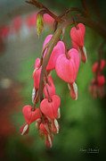 Bleeding Hearts Prints - Dripping With Love Print by Mary Machare
