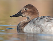 Ruth Jolly - Drippy Canvasback