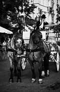 Polish City Framed Prints - Driver And Grey Horses Tourist Horse Drawn Carriage In Rynek Glowny Old Town Square Stare Miasto Krakow Framed Print by Joe Fox