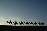 Backlit Posters - Dromedary Camels in Thar Desert Poster by Pete Oxford