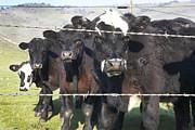 Marsha Ingrao - Drooling Bulls