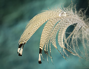 Droopy Prints - Droopy Feather Print by Jean Noren