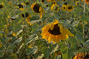 Yellow And Orange Sunflower Prints - Droopy Print by Roy Thoman