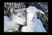 Bonding Metal Prints - Drowsy Day Old Lambs Metal Print by Thomas R Fletcher