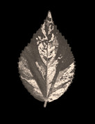 Sophisticated Posters - Dry leaf 2 Poster by Sumit Mehndiratta