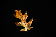 Brown Leaf Prints - Dry on Water Print by Karol  Livote