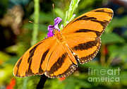 Orange And Black Butterfly Posters - Dryadula Butterfly Dryadula Phaetusa Poster by Millard H. Sharp