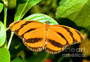 Orange And Black Butterfly Posters - Dryadula Butterfly Poster by Millard H. Sharp
