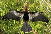 Anhinga Prints - Drying Out Print by Adam Jewell